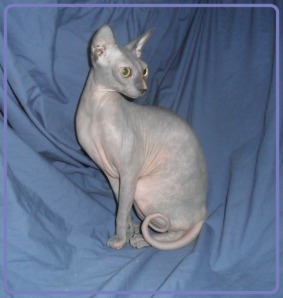 Triple F Sphynx and Bambino Cattery