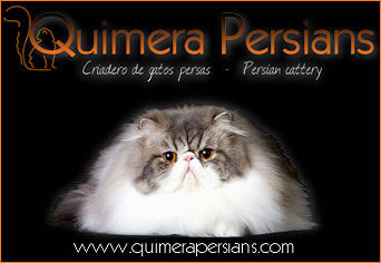 Quimera Big Tabby *ES