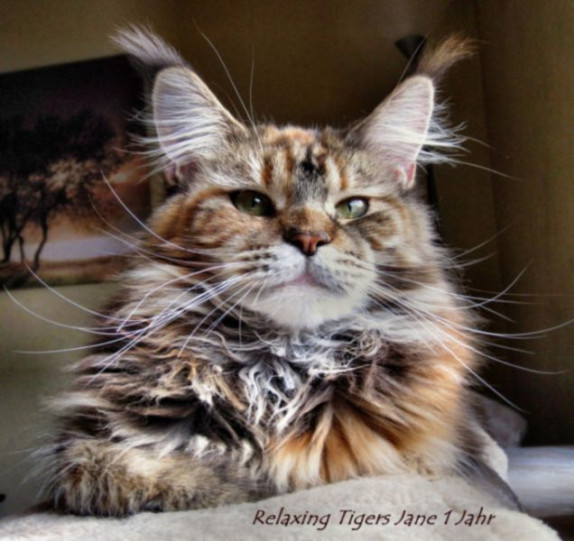 Ch. Relaxing Tigers Jane (Maine Coon) ~ WorldKittens  Ch. Relaxing Ti...