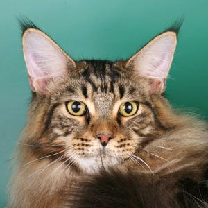 Batman of koi pond maine coon worldkittens for Koi pond maine coon cattery