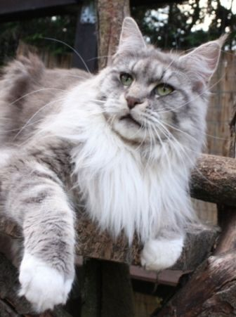 Blue Eye Maine Coon Cat Breeders
