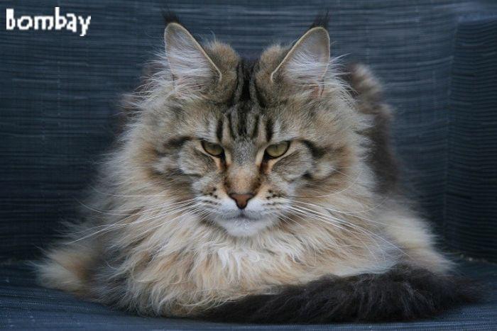 Bombay Silvi-Cola (Maine Coon) ~ WorldKittens Tabby Norwegian Forest Cat