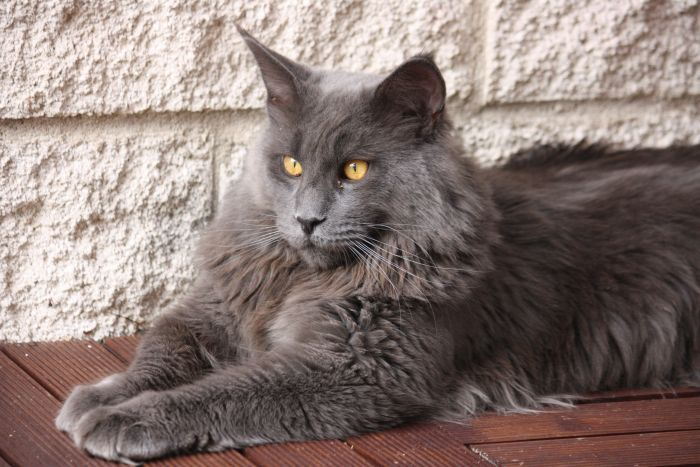 Chartreux Cats For Sale Canada