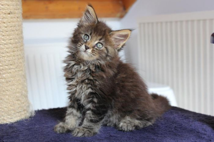 U Litter / Maine Coon ()