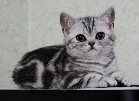 Elite Brand`s  R.. / British Shorthair ()