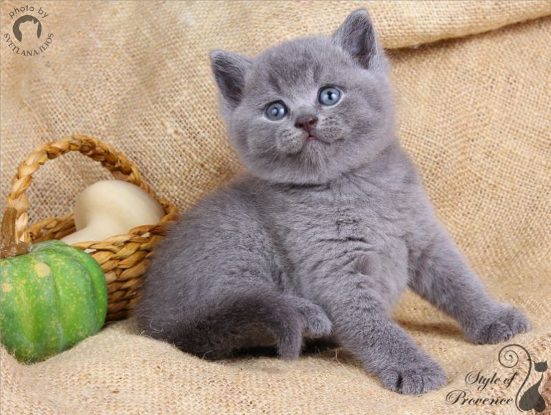 H / British Shorthair ()