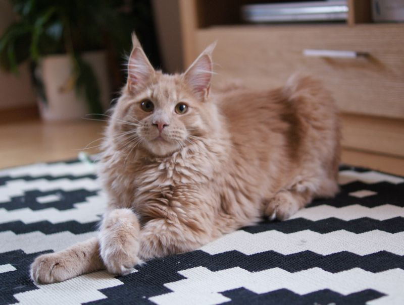 Litter B / Maine Coon ()