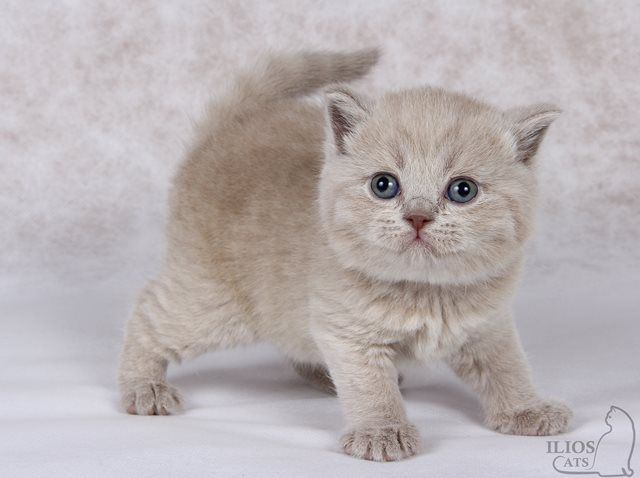 O / British Shorthair ()