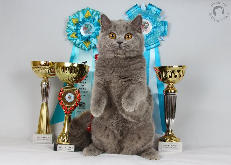 A / British Shorthair ()