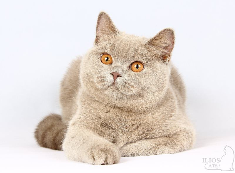N / British Shorthair ()
