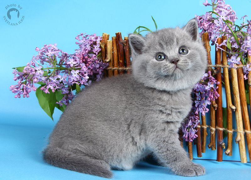 J / British Shorthair ()