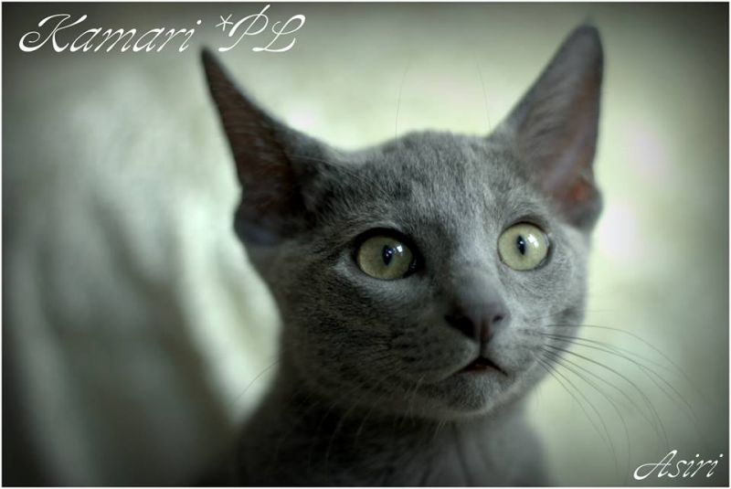 Litter AMANACER / Russian Blue ()
