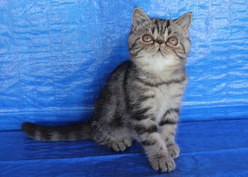 "LITTER ""A"" / Exotic Shorthair ()"