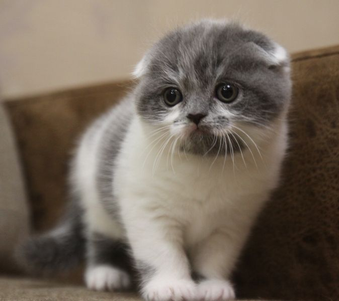 Elite Brand`s  G... / Scottish Fold ()