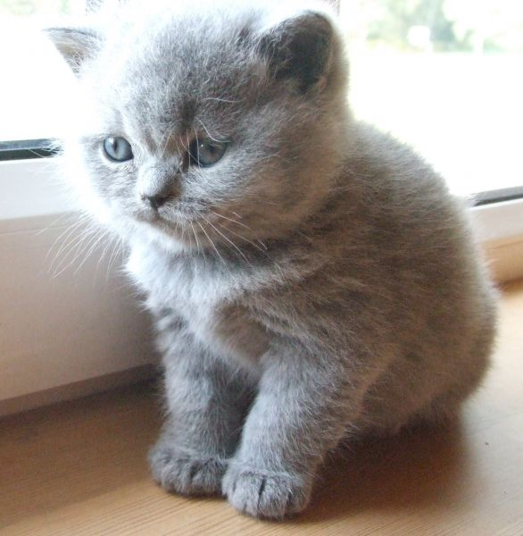 Litter C / British Shorthair ()