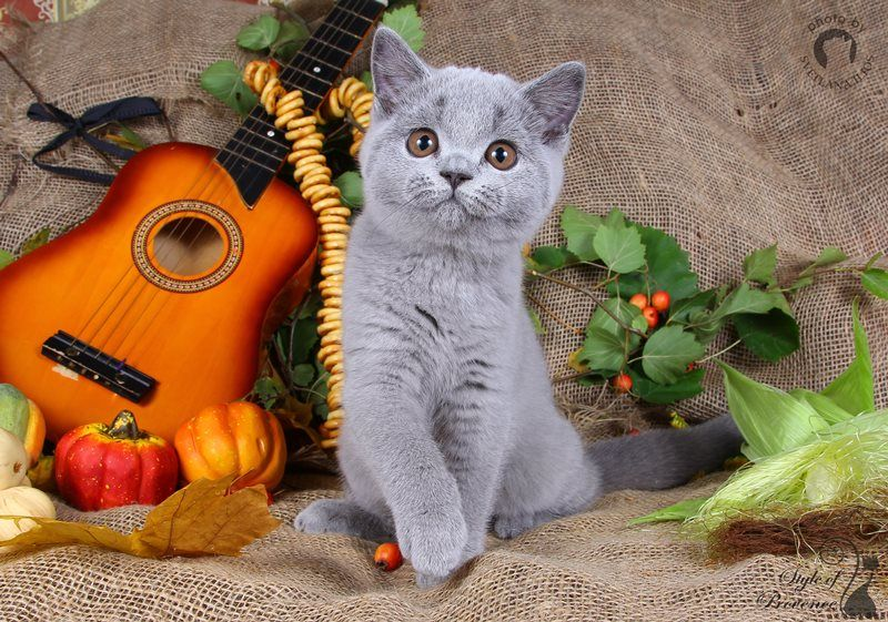 M / British Shorthair ()