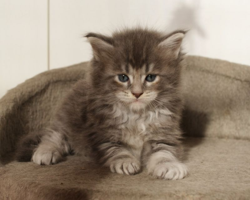 Litter C / Maine Coon (Wild Treasure, CZ)