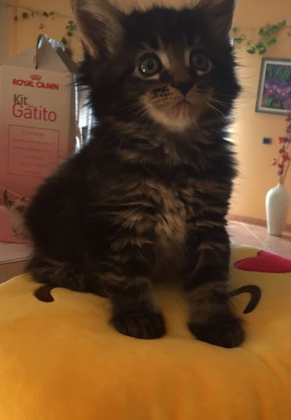 Hara, Trillizas / Maine Coon (Moontico Maine Coon)