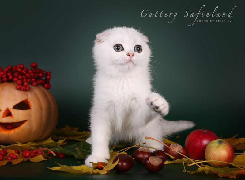 I... Golden Safinland / Scottish Fold (Safinland)
