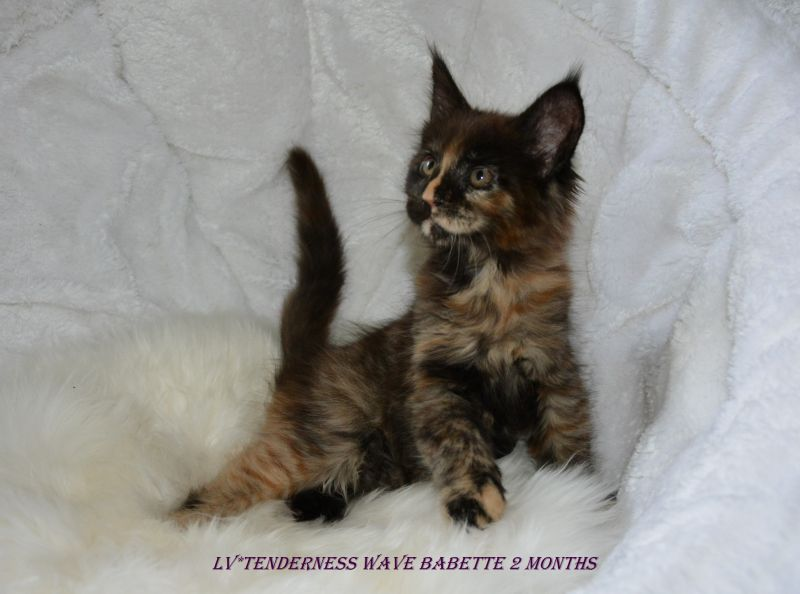 LITTER B / Maine Coon (LV*TENDERNESS WAVE)