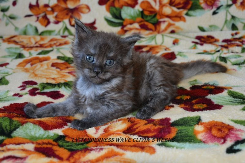 LITTER C / Maine Coon (LV*TENDERNESS WAVE)