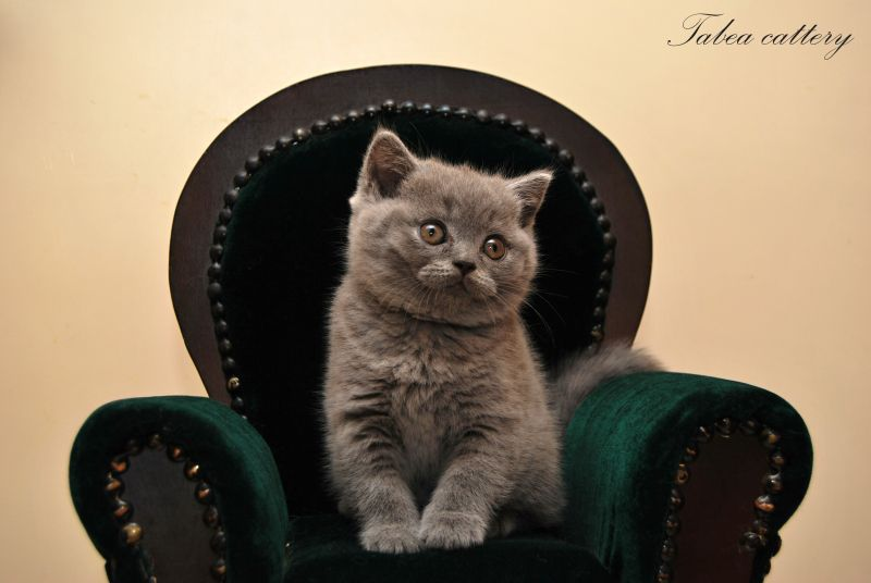 "Litter ""F"" / British Shorthair (Tabea cattery)"