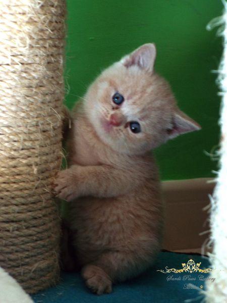 Sardi Paws Litter C / British Shorthair (Sardi Paws Cattery)