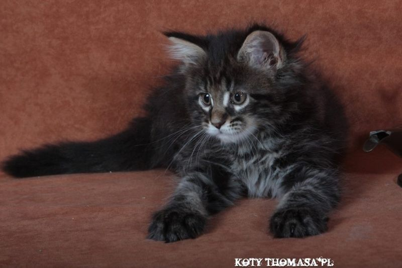 "Litters ""M"" / Maine Coon (KOTY THOMASA*PL)"