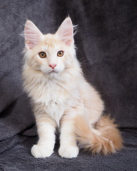 F / Maine Coon (ICESTORM*PL)