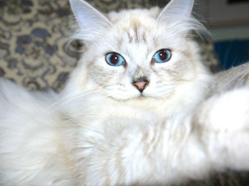 Von Kopp Aristocats / Siberian (Von Kopp Aristocats)