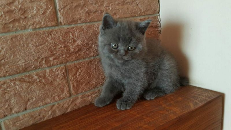 H and I / British Shorthair (Cats Kingdom*USA)