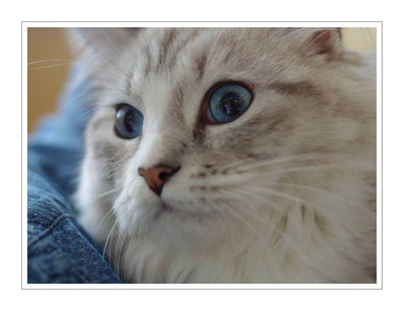 Vatrushky Jr. / Siberian (Von Kopp Aristocats)