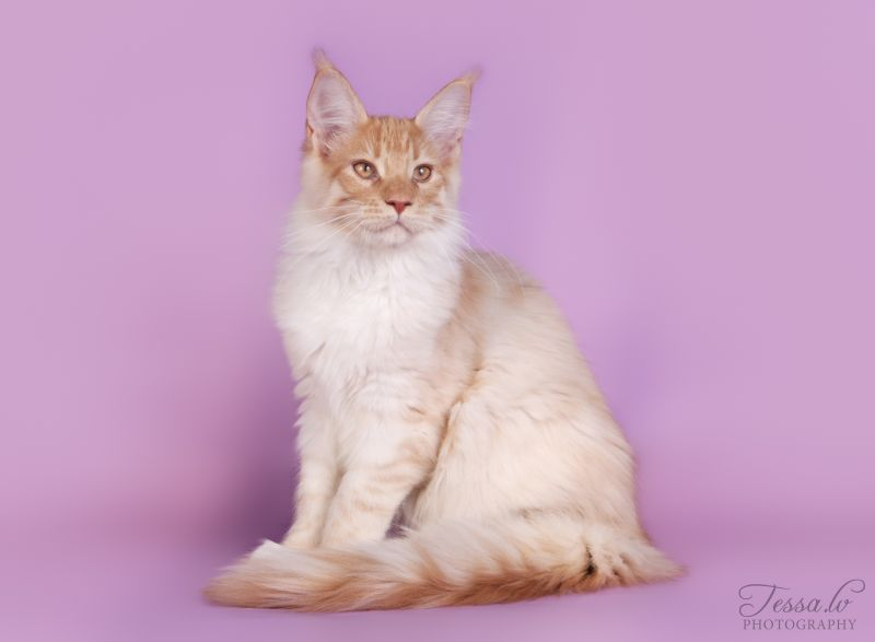 LITTER D / Maine Coon (LV*TENDERNESS WAVE)