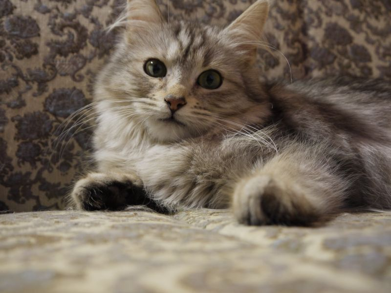 VRSKY / Siberian (Von Kopp Aristocats)