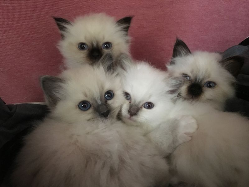 Bluebirmans A / Sacred Birman (BlueBirmans)