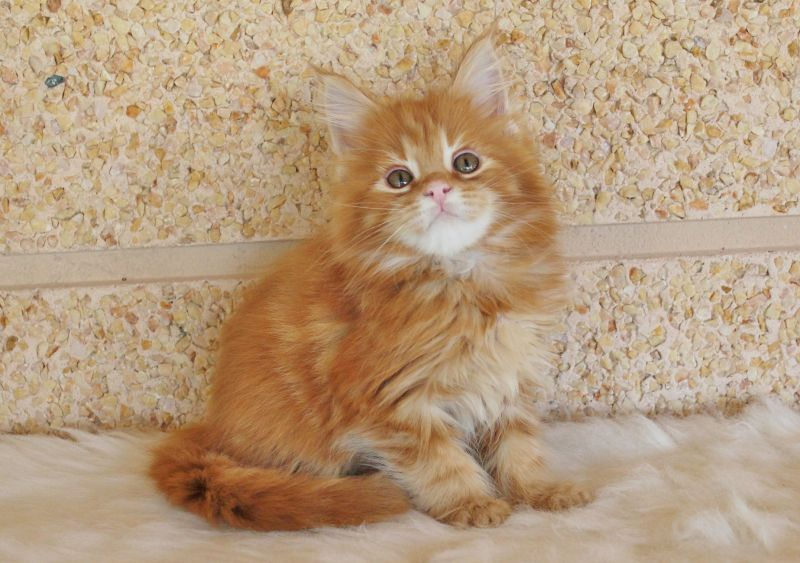 "Litter of ""RUFUS and TINA"" / Maine Coon (GUILLADECOON)"