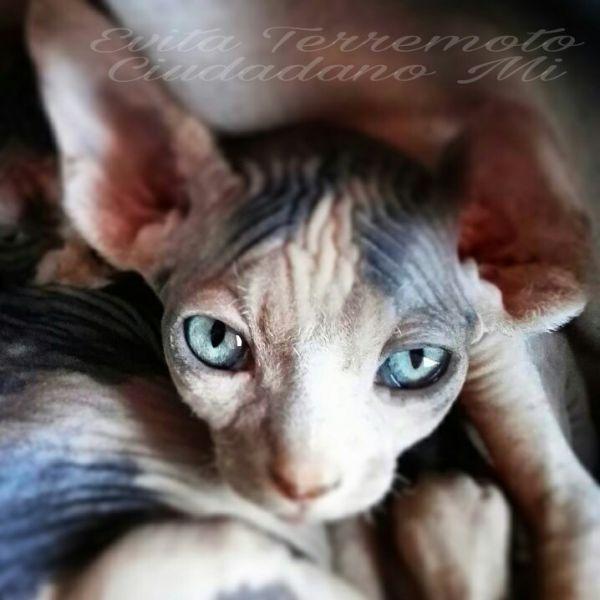 Camada Blue / Sphynx (CIUDADANO MI)
