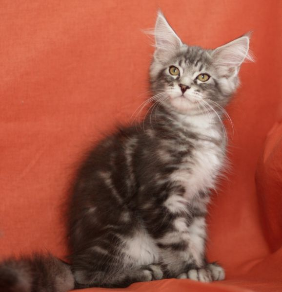 H / Maine Coon (Arman Pride)