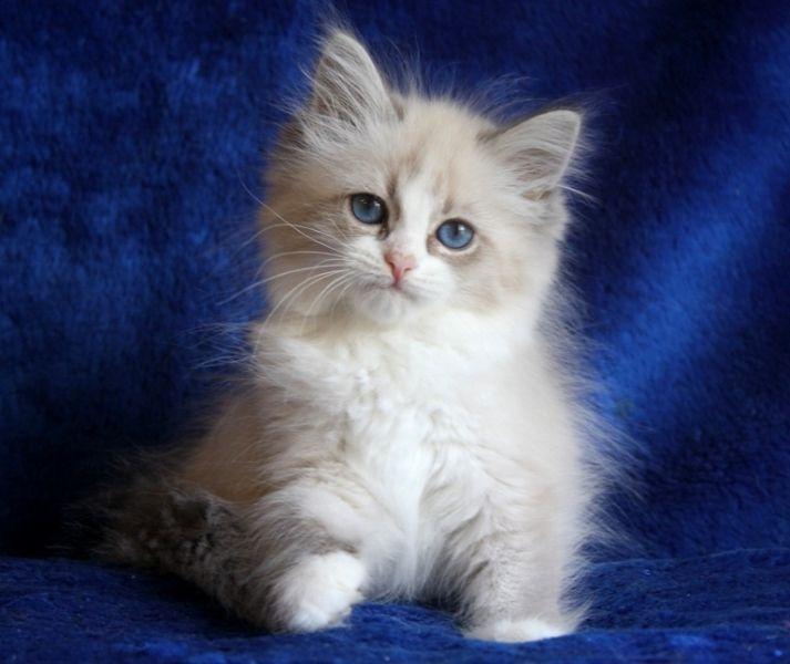 "Siberian kittens litter ""E4"" / Siberian (Formula Uspekha*RUS)"