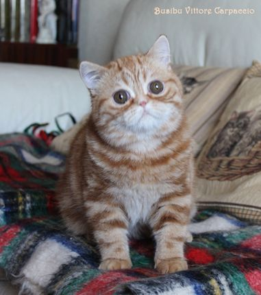 Renacimiento / Exotic Shorthair (Busibu)