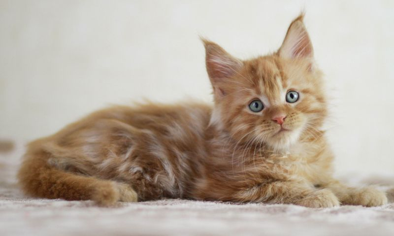 M / Maine Coon (Arman Pride)