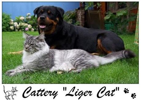 Liger Cat