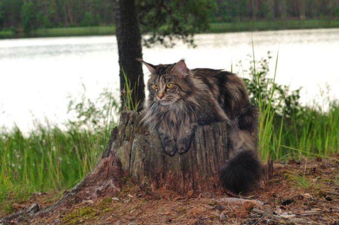 Russi Mystic Dancing Queen (Maine Coon) ~ WorldKittens