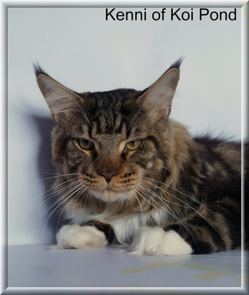 kenni of koi pond maine coon worldkittens ForKoi Pond Maine Coon Cattery