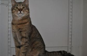 Pixiebob cat