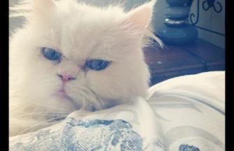 Minuet cat