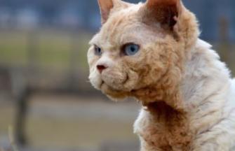 Gato Devon Rex
