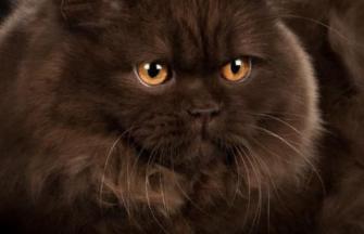 British Longhair Katze