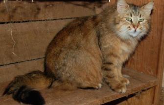 Gato Pixiebob