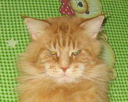 Archibald Liger Cat